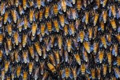 Abejas gigantes de la miel Imagen de archivo