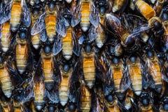 Abejas gigantes de la miel Imágenes de archivo libres de regalías