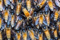 Abejas gigantes de la miel Fotografía de archivo libre de regalías