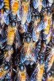 Abejas gigantes de la miel Fotos de archivo libres de regalías