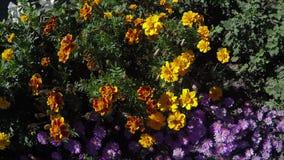 Abejas grandes en luz del día de las flores almacen de video