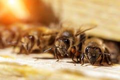 Abejas hermosas en los panales con el primer de la miel Imágenes de archivo libres de regalías