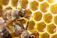 Abejas hermosas en los panales con el primer de la miel Foto de archivo libre de regalías