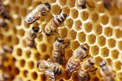 Abejas hermosas en los panales con el primer de la miel Imagen de archivo libre de regalías