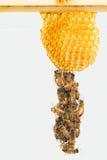Abejas italianas Festooning de la miel Fotografía de archivo libre de regalías