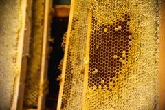 Abejas jovenes, abejones masculinos en un marco de la miel Imagen de archivo