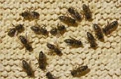 Abejas a la miel cerrada Fotografía de archivo libre de regalías