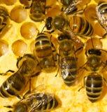 Abejas, larvas y capullos La imagen muestra las abejas de diversa edad Imágenes de archivo libres de regalías