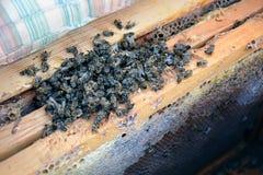 Abejas muertas en la colmena a los peines de la miel apicultura Fotos de archivo