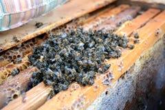 Abejas muertas en la colmena a los peines de la miel apicultura Foto de archivo libre de regalías