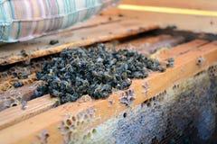 Abejas muertas en la colmena a los peines de la miel apicultura Foto de archivo