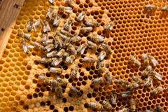 Abejas ocupadas, cierre encima de la opinión las abejas de trabajo en el panal Imagenes de archivo
