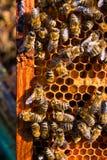Abejas ocupadas, cierre encima de la opinión las abejas de trabajo en el panal Fotografía de archivo