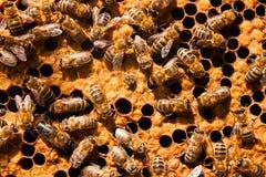 Abejas ocupadas, cierre encima de la opinión las abejas de trabajo en el panal Imagen de archivo libre de regalías