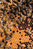 Abejas ocupadas, cierre encima de la opinión las abejas de trabajo en el panal Foto de archivo libre de regalías