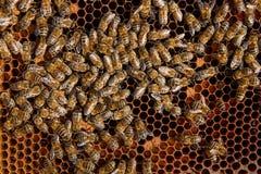 Abejas ocupadas, cierre encima de la opinión las abejas de trabajo en el panal Imagen de archivo