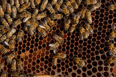 Abejas ocupadas, cierre encima de la opinión las abejas de trabajo en el panal Foto de archivo
