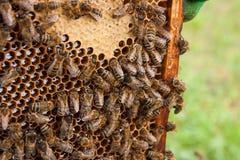 Abejas ocupadas, cierre encima de la opinión las abejas de trabajo en el panal Fotografía de archivo libre de regalías