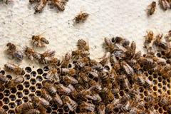 Abejas ocupadas, cierre encima de la opinión las abejas de trabajo en el panal Fotos de archivo