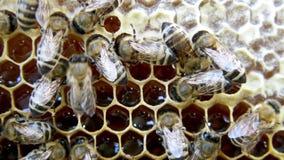 Abejas ocupadas, cierre encima de la opinión las abejas de trabajo en el panal almacen de metraje de vídeo