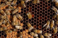 Abejas ocupadas dentro de la colmena con las células selladas para sus jóvenes Foto de archivo