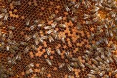 Abejas ocupadas dentro de la colmena con las células selladas para sus jóvenes Imágenes de archivo libres de regalías