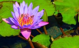 Abejas ocupadas en lirio de agua púrpura Imagenes de archivo