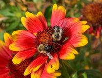 Abejas ocupadas que recolectan el polen Imágenes de archivo libres de regalías