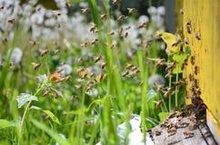 Abejas ocupadas que vuelven con la miel y el polen en colmenar Fotografía de archivo