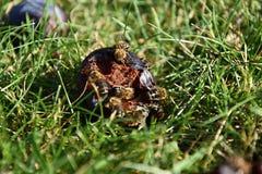Abejas para comer el ciruelo que miente en la hierba Imagen de archivo