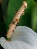 Abejas polinating a la flor blanca Fotografía de archivo