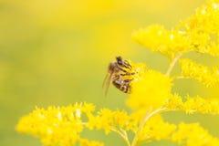 Abejas que alimentan en el néctar y el polen Imagenes de archivo