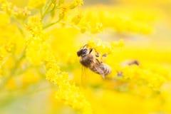 Abejas que alimentan en el néctar y el polen Foto de archivo libre de regalías