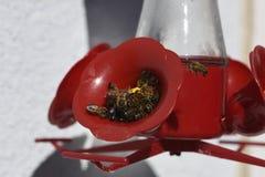 Abejas que beben el agua de azúcar en alimentador Fotos de archivo libres de regalías