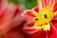 Abejas que buscan el néctar Imágenes de archivo libres de regalías