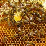 Abejas que cenan dulce la miel Fotos de archivo