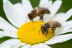 Abejas que chupan el néctar de una flor de la margarita Foto de archivo