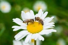 Abejas que chupan el néctar de una flor de la margarita Imagen de archivo