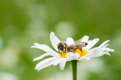 Abejas que chupan el néctar de una flor de la margarita Imagenes de archivo