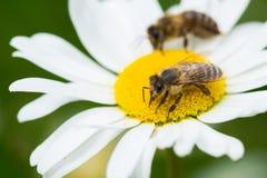 Abejas que chupan el néctar de una flor de la margarita Imagen de archivo libre de regalías