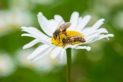 Abejas que chupan el néctar de una flor de la margarita Fotografía de archivo