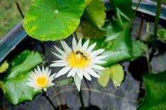 Abejas que comen el dulce del loto blanco Foto de archivo
