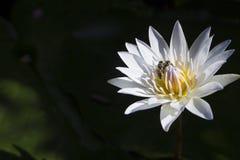 Abejas que crían en la flor de loto Fotos de archivo