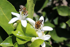 Abejas que polinizan árboles frutales Fotografía de archivo libre de regalías