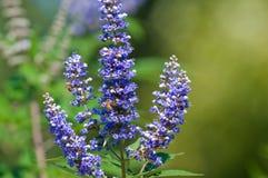 Abejas que polinizan en una floración del árbol del vitex Imagen de archivo
