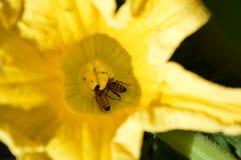 Abejas que polinizan la flor de la calabaza en alto verano Imagenes de archivo