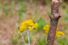 Abejas que polinizan las flores amarillas del país Imagen de archivo