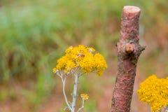 Abejas que polinizan las flores amarillas del país Foto de archivo libre de regalías