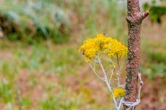 Abejas que polinizan las flores amarillas del país Fotos de archivo