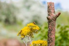 Abejas que polinizan las flores amarillas del país Imagen de archivo libre de regalías